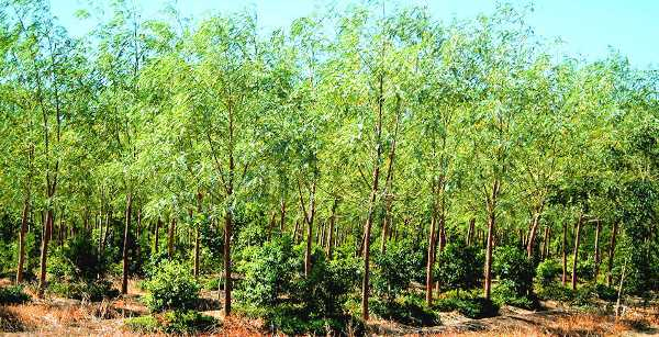 sandalwood-cultivation.